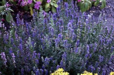 HYSSOP 100 seeds attracts bees butterflies HERB flower garden purple flowered