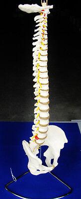 Model Anatomy Professional Medical Life Size Vertebral Column Pelvis USA ARTMED