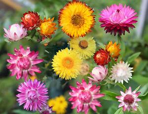 Strohblumen Trocknen zwerg strohblumen gefüllte prachtmischung 80 samen ebay