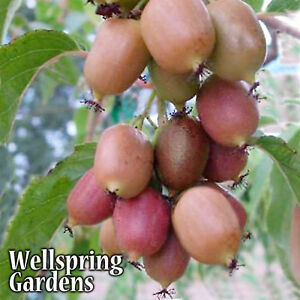 HARDY-KIWI-FRUIT-Plant-Ken-039-s-Red-Actinidia-arguta-Vine