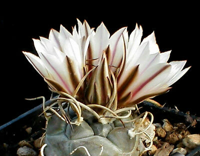 Turbinicarpus macrochele ssp frailensis rare cactus seeds~not astrophytum