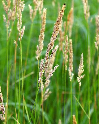 500 Samen Rohrglanzgras (Phalaris arundinacea), Havelmielitz, Teich, Teichrand