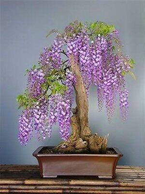 WISTERIA SINENSIS  Glicinia 5 Semillas bonsai Seeds