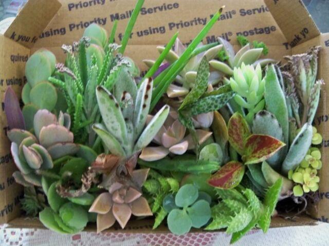 LOOK....12 nice succulent cuttings