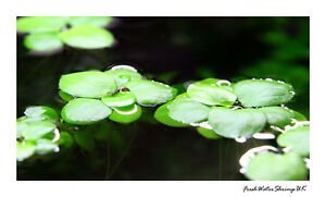 Live-Aquarium-Floating-Plants-Amazon-Frogbit-Limnobium-laevigatum