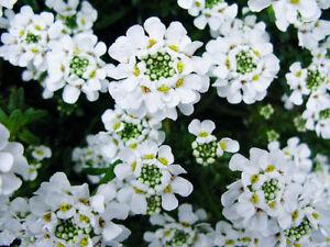 PURE-WHITE-SWEET-FRAGRANT-ALYSSUM-FLOWER-SEED-PERENNIAL