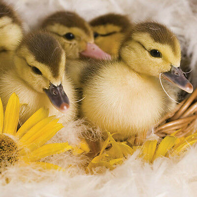 Easter Blank Greetings Card Spring Chicks Daffodil Ducklings with Tulip Flowers