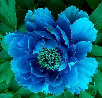 "Perennials Beautiful Peony  ""Blue Eyes Peony Seeds"""