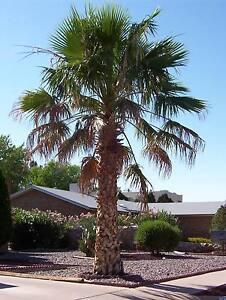 mexican fan palm washingtonia robusta tree seeds fast tropical evergreen ebay. Black Bedroom Furniture Sets. Home Design Ideas