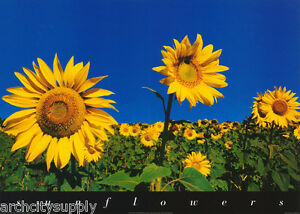 POSTER-PHOTO-SUNFLOWERS-by-BLAYLAND-FREE-SHIPPING-PE1065-RW7-R