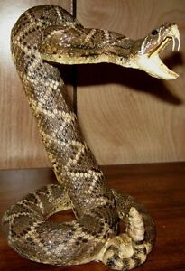 Diamond-Back-Rattle-Snake-Striking