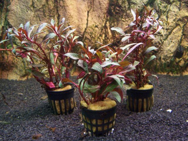 3 Töpfe Ludwigia peruensis  Wasserpflanzen