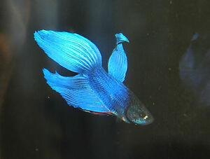 Male-Blue-Fighting-Fish-Betta-splendens-Live-Aquarium-Fish