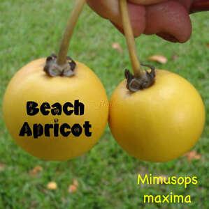 BEACH-APRICOT-Mimusops-maxima-SEASIDE-FRUIT-TREE-good-4-Salt-amp-Wind-LIVE-Plant