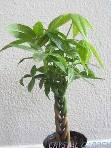 MONEY-Five-Braided-Tree-Bring-Luck-Houseplant-Bonsai