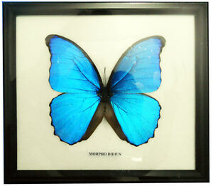 FRAMED-REAL-BEAUTIFUL-MORPHO-DIDIUS-BUTTERFLY-DISPLAY-INSECT-TAXIDERMY