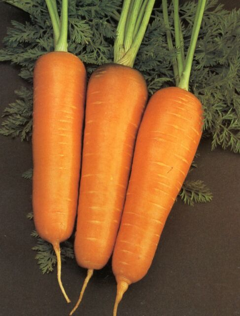 ORGANIC VEGETABLE  CARROT CHANTENAY RED CORE  2000+ FINEST SEEDS