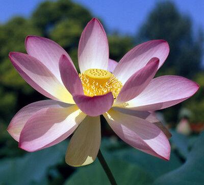 Natürlicher Lotuseffekt: 3 Samen Indische Lotosblume (Nelumbo nucifera), Teich