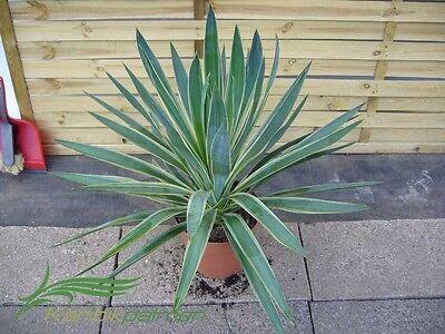 Yucca gloriosa variegata - 50-60cm Pflanze   Winterhart  -25°C