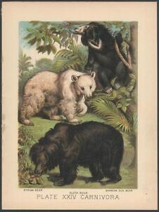 RARE Original 1880's SLOTH SUN BEAR Chromolithograph ANTIQUE Print NOT A COPY!