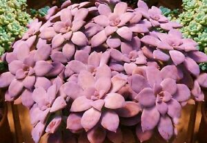 Graptopetalum-pentandrum-exotic-succulent-rare-mesembs-flowering-plant-15-SEEDS