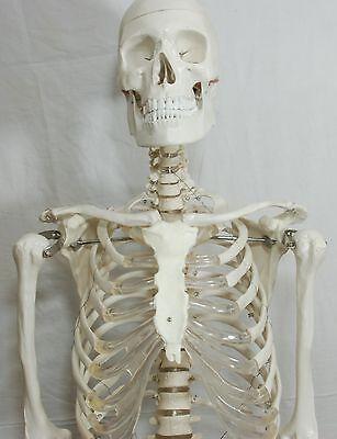 Anatomical Human Skeleton Model Life Size 170cm 66 Inch  Free Bonus Poster