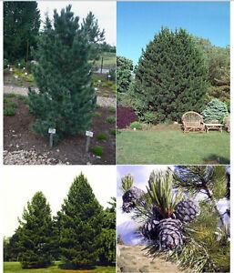 RUSSIAN-CEDAR-SIBERIAN-PINE-TREE-HARDY-PINUS-CEMBRA-SEEDS-SWISS-STONE-BONSAI-TRE