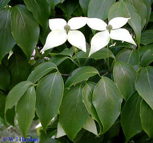milky way kousa dogwood cornus kousa chinensis tree seeds fall color showy ebay. Black Bedroom Furniture Sets. Home Design Ideas