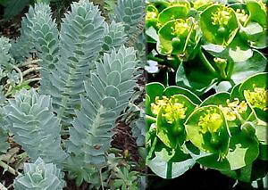 Myrtle-Spurge-Seeds-Euphorbia-Myrsinites-Cactus-Like-Perennial-10-Seeds