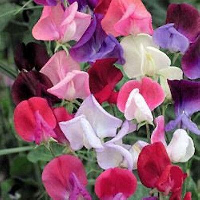 60 SWEET PEA ROYAL FAMILY MIX Lathyrus Vine Flower Seed