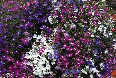 FLOWER LOBELIA FOUNTAINS MIX  0.4 GRAM ~ APPROX 12,000 SEEDS - TRAILING