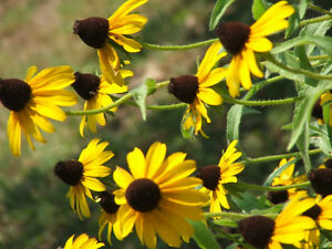 100-YELLOW-CONEFLOWER-Flower-Seeds-Gift-Comb-S-H