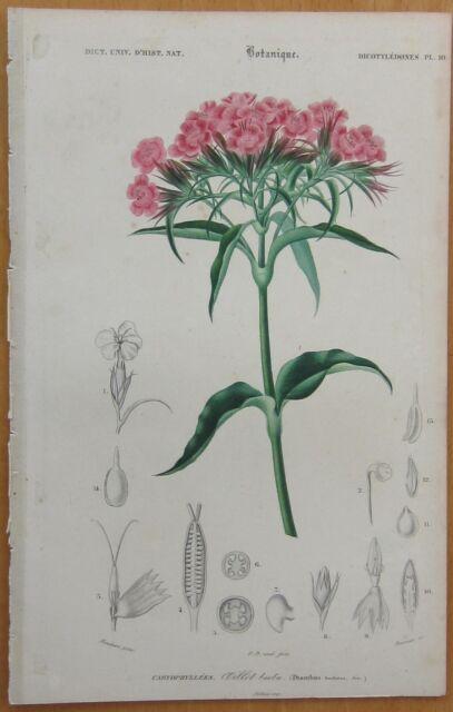 Orbigny: Flower Dianthus - 1849