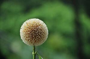 50-Haldina-Cordifolia-Semillas-Arbol-Ornamental-Flores-Frutas-Suntuoso-Tree