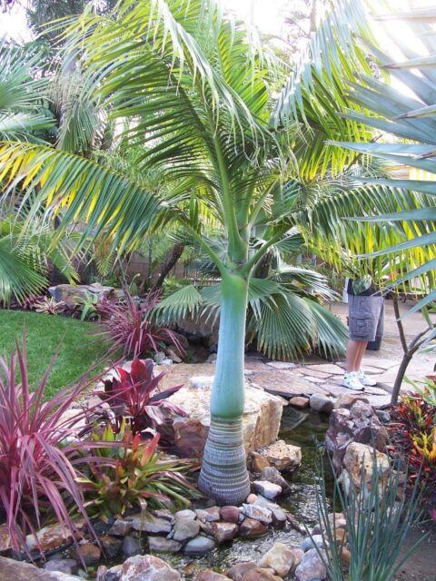 Pacific Beauty Palm - Clinostigma Savoryanum LIVE Tree