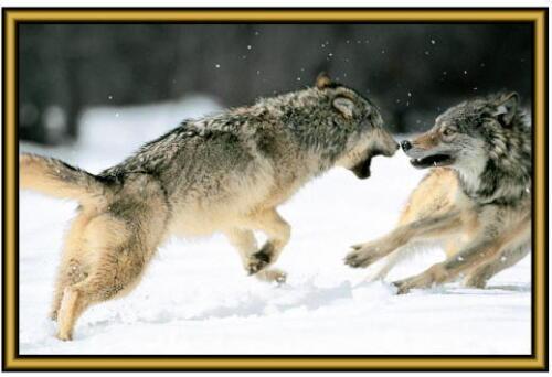 . New Fridge magnets Wolf Photographs