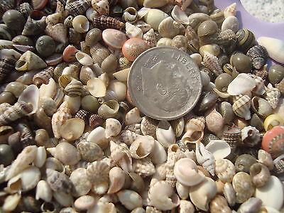 500 TINY MINI MIX Seashells Scrapbook Crafts Miniature Shells Fairy Garden