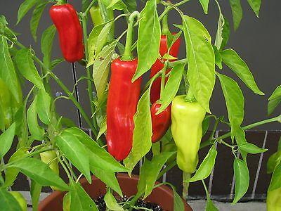 Thai Prik Juaa milde große Thai Chili