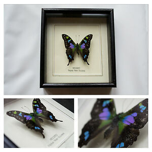 Real-Weiskei-Butterfly-Hand-Set-and-Framed-In-UK-Beautiful-Gift-Taxidermy