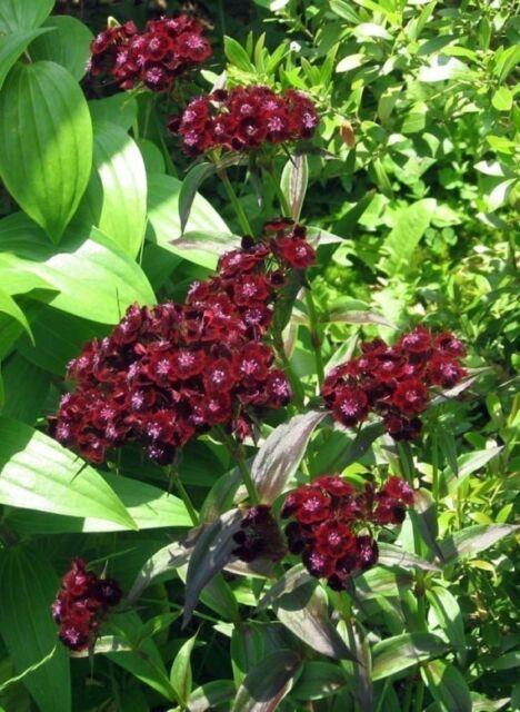 FLOWER SWEET WILLIAM BLACK PRINCE 750 FINEST SEEDS