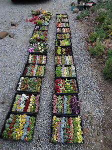 SUCCULENTS-100-DIFFERENT-succulent-cuttings-Ideal-for-succulent-projects