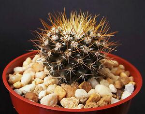 Mammillaria-Nivosa-rare-cactus-exotic-succulent-plant-garden-cacti-flower-4-034-pot