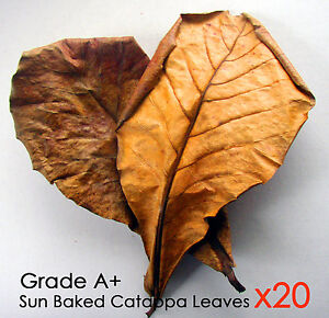 100g Grade A+ GIANT indian Almond (CATAPPA/KETAP​ANG) LEAVES Aquarium