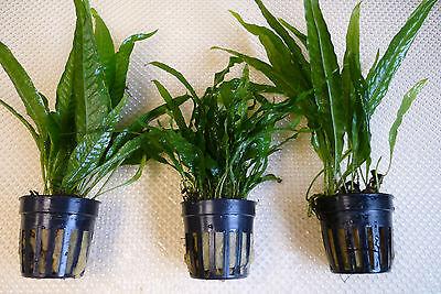 Microsorum Collection x 3 pots - Aquatic Aquarium Fish Tank Plants