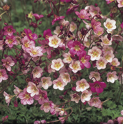 Flower - Saxifrage - Saxifraga arendsii Mossy Varieties and Rose Shade 200 Seed