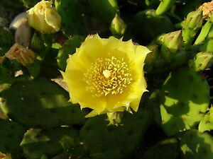 Pads eastern prickly pear cactus plant cold hardy zone 5 maybe colder