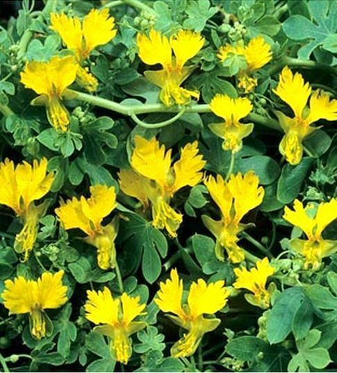 TROPAEOLUM PEREGRINUM, CANARY CREEPER 10 seeds