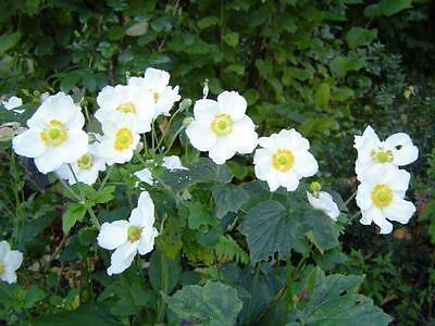 5 MADONNA ANEMONE Sylvestris White & Yellow Flower Seeds + Gift & Comb S/H