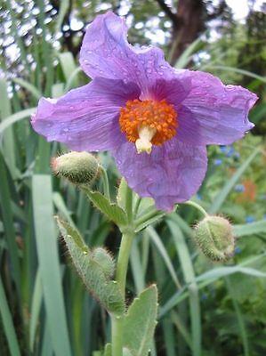 10 VIOLET HIMALAYAN POPPY Meconopsis Betonicifolia Purple Hensol Flower Seeds