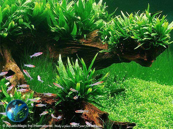 Philippine Fern # Live aquarium plant fish tank